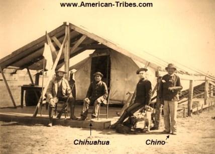 Chihuahua y Chino